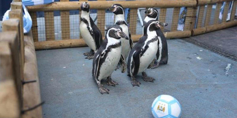 P-P-P Pick Up A Penguin - Man City's Newest Members!